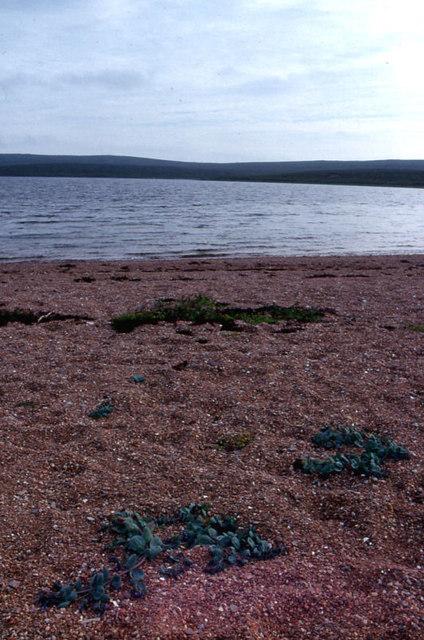 Oysterplant (Mertensia maritima), Basta Voe