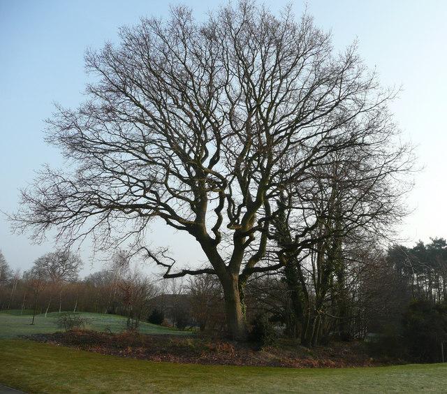 Oak tree at West End