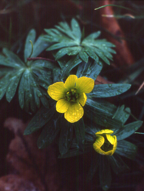 Winter Aconite (Eranthis hyemalis), Widmerpool