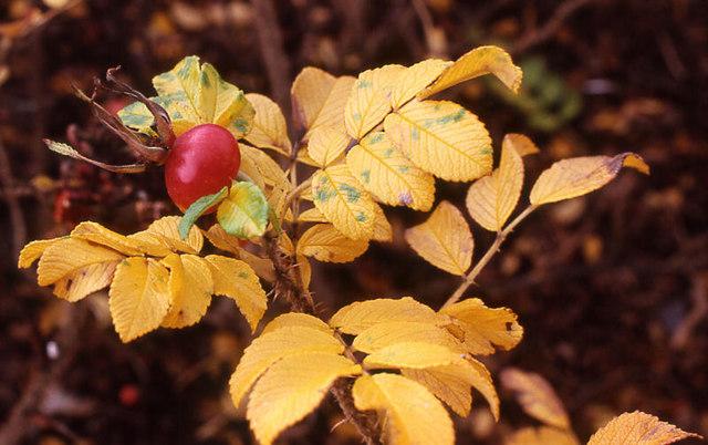 Autumn roses, Northfield, Aberdeen