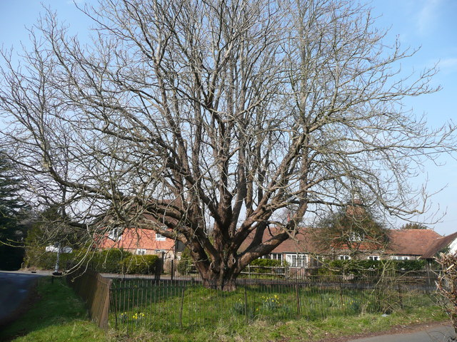Chestnut tree at Pound Green