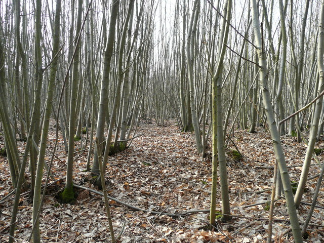 Chestnut coppicing
