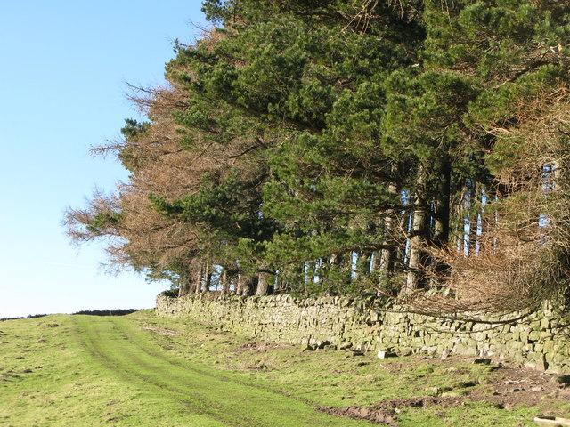 Track and plantation near Riddlehamhope