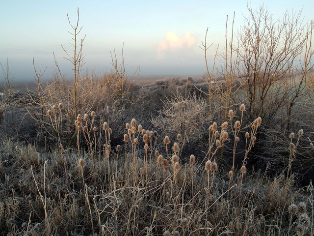 Frosty Teasels on Hedon Flyover Embankment