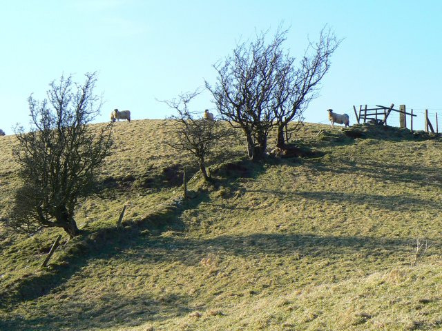 Hill sheep on a hill