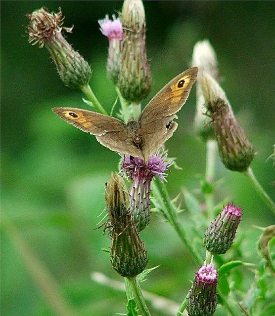 Meadow Brown (Maniola jurtina) Male