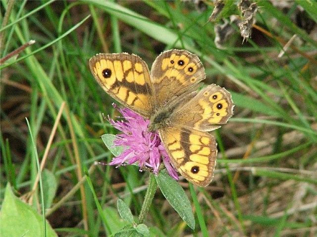 Wall Brown Lasiommata megra (male)
