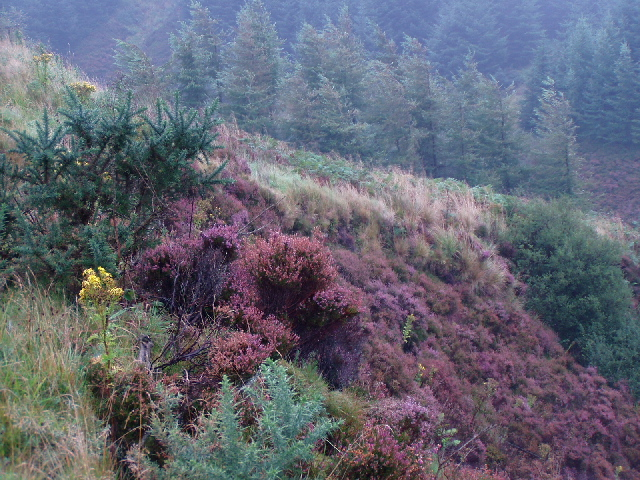Mist and Heather on the Ross Road, Arran