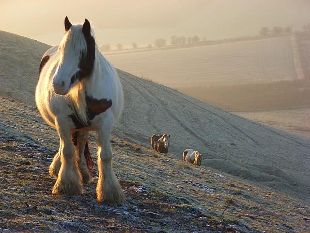 Horses on downland, Liddington