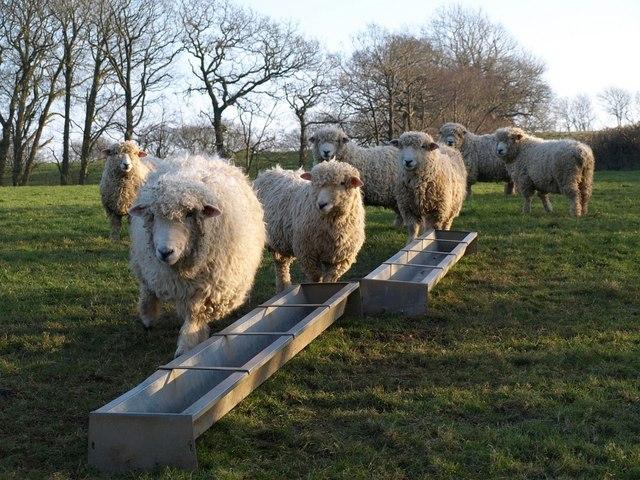 Sheep at Thornwidger