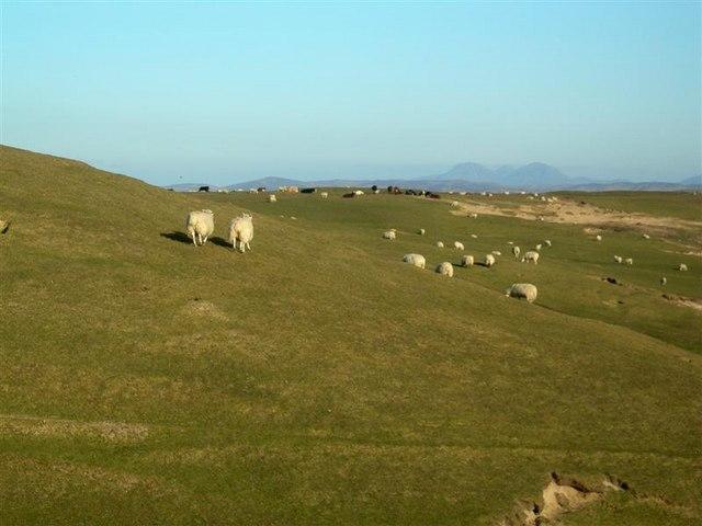 Sheep At Coull Farm