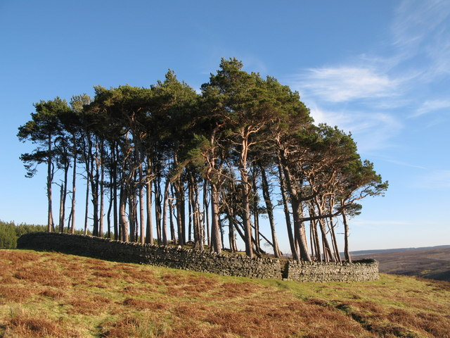 Plantation on a tumulus above the valley of Beldon Burn (2)