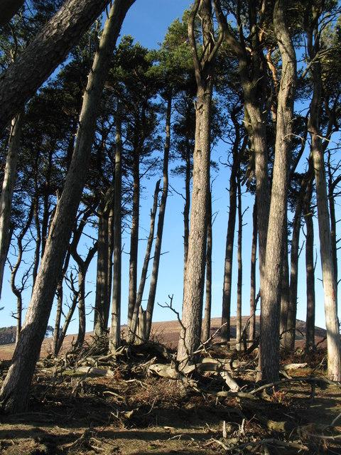 Plantation on the tumulus above Beldon Burn