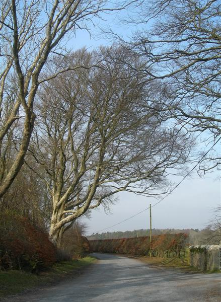 Beech Trees And Hedges