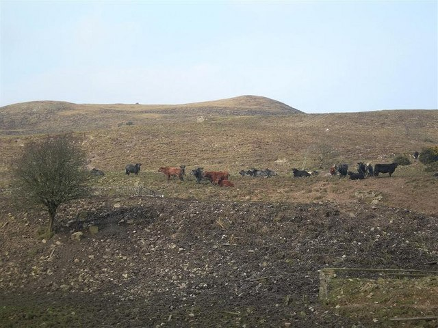 Camouflaged Cattle