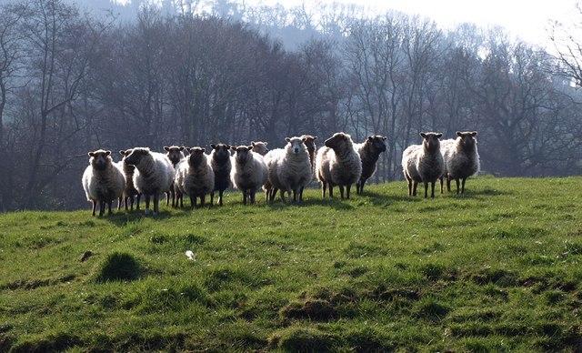 Sheep at Southcott