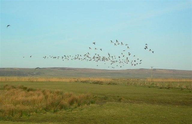Geese Over Gruinart Flats