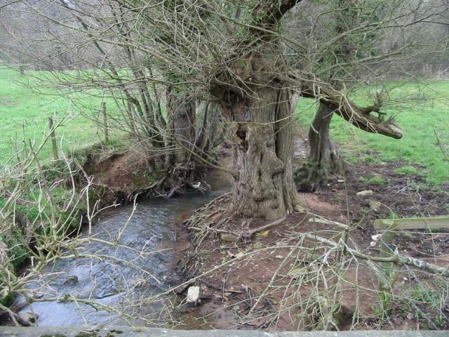 Gnarled trees beside Bathford Brook