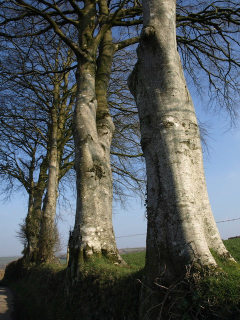 Beech trees near Collacott