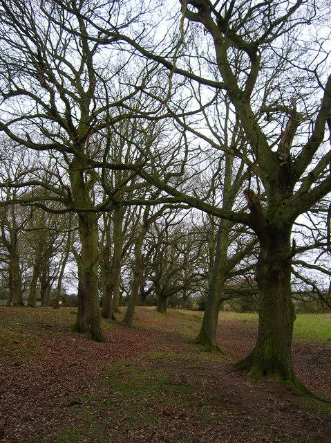 Oaks near Coneyburrow Lane