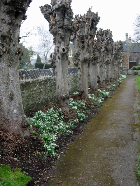 Row of heavily pollarded trees at St Mary's church