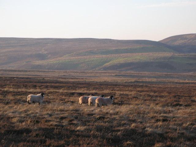 Sheep grazing on Harwoodshield Fell