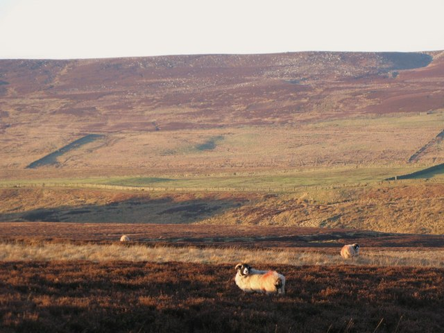 Sheep grazing on Harwoodshield Fell (2)