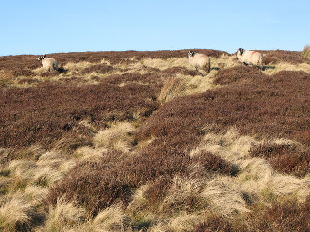 Sheep grazing on Black Hill