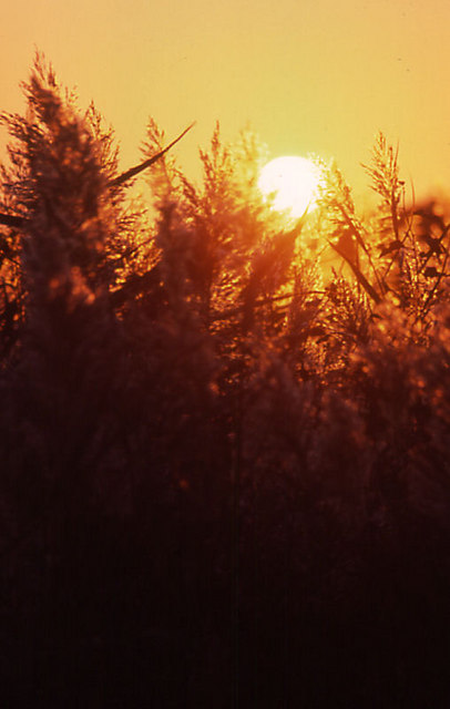 Phragmites at sunset