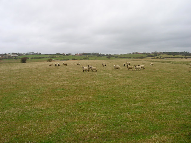 Sheep, Hooe Level
