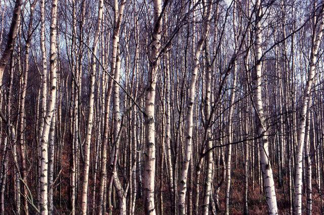 Birches in Buddon Wood