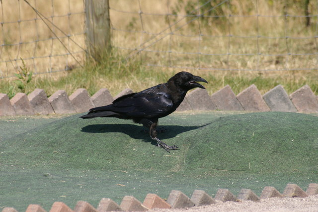 Raven (Corvus corax) on a Crazy Golf Course, Great Orme