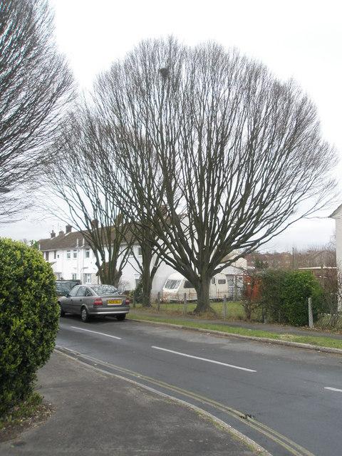 Impressive tree in Finchdean Road