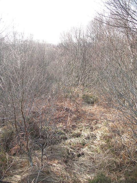 Birch woods near Three Burns Ford