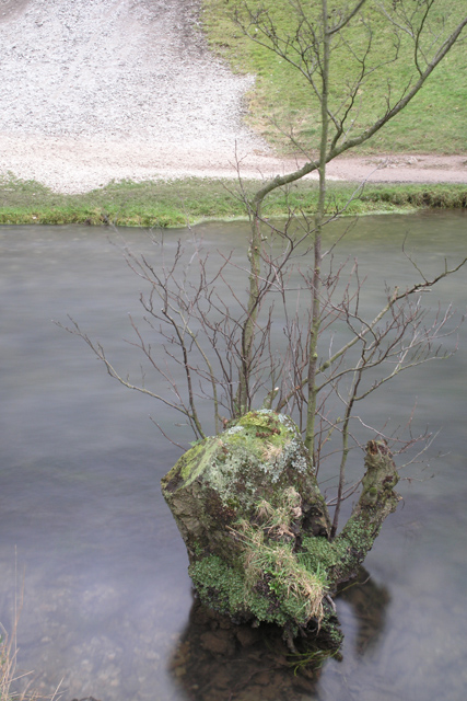 Tree stump, Dovedale