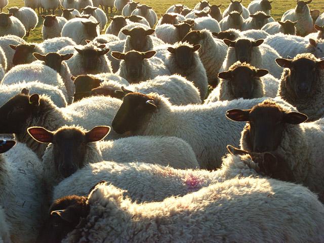 Sheep on Uffcott Down