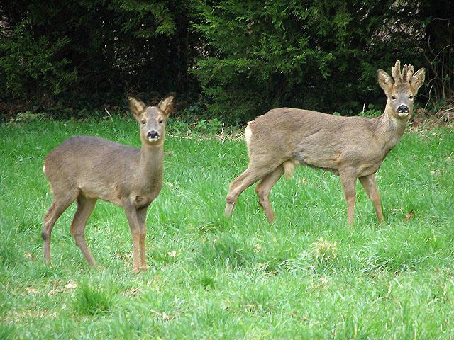 Roe deer alert