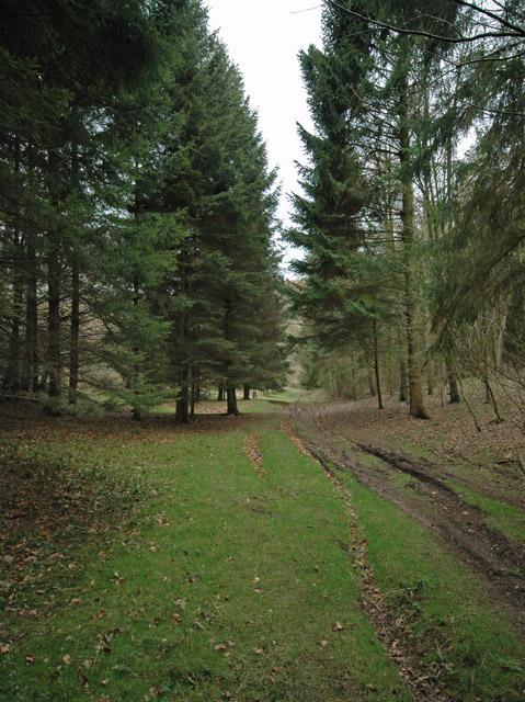 Conifers in Hunsley Dale