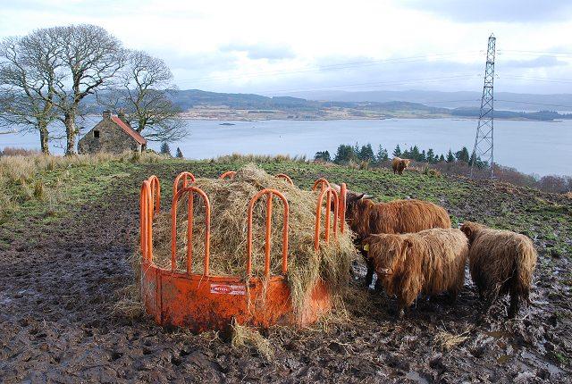 Cattle above Loch Gilp