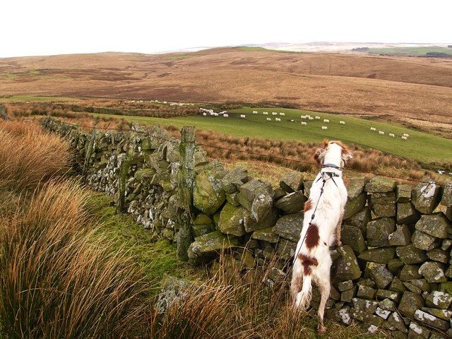 Sheep on the northern slopes of Auchmantle Fell