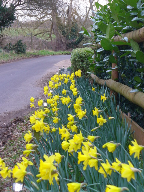 Daffodils at Woodhill