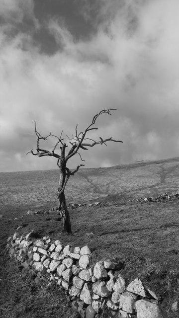 Lone Hawthorn