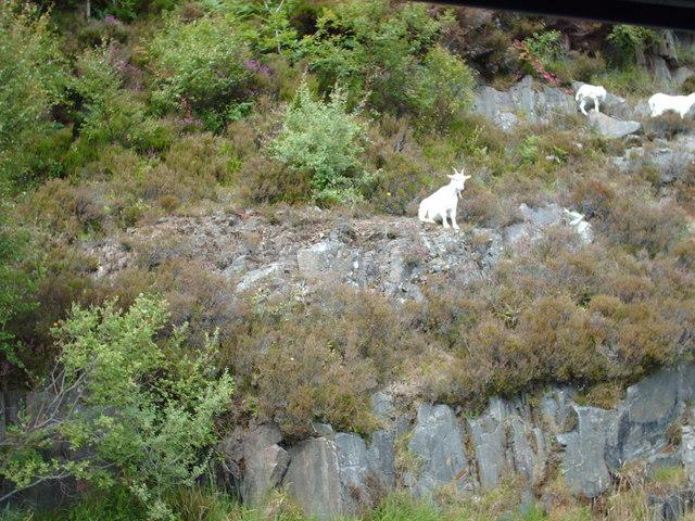 Acting the goat at Moidart
