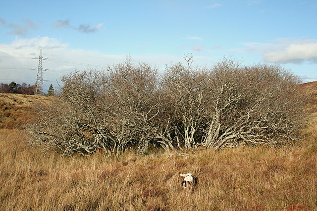 A hardy bog shrub at the foot of Carn Mor