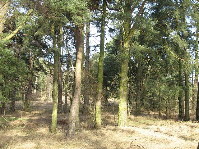 A pine wood