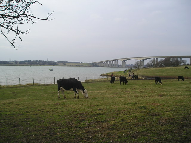 Cattle at Pond Hall Farm