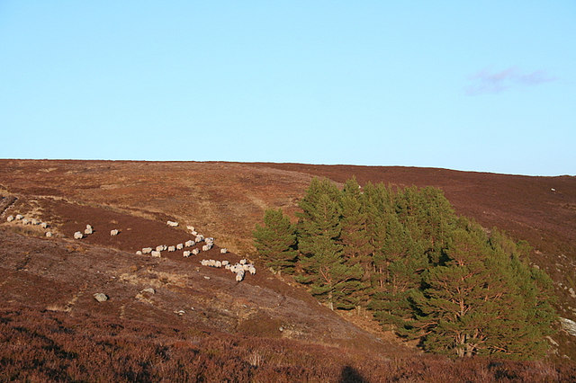 Sheep by a copse north of Caochan a Ghaid