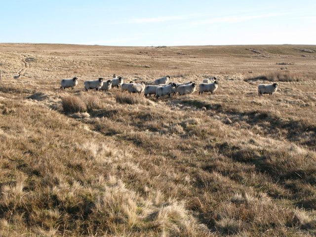 Sheep grazing Hangingwells Common