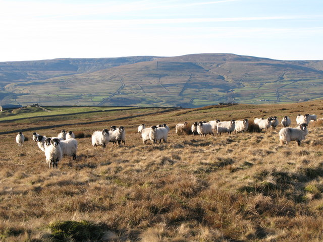 Sheep grazing on moorland above Crook's Altar