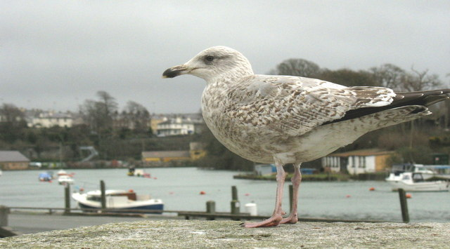 A young herring gull